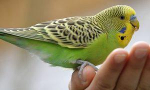 pájaros como mascota